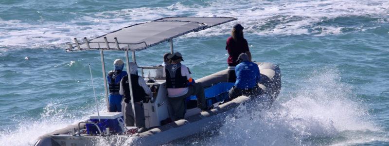 Rescuing vaquitas, individual by individual